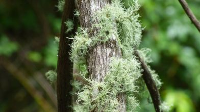 Extra Mossy Tree