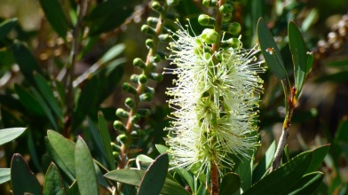 Green Bottlebrush