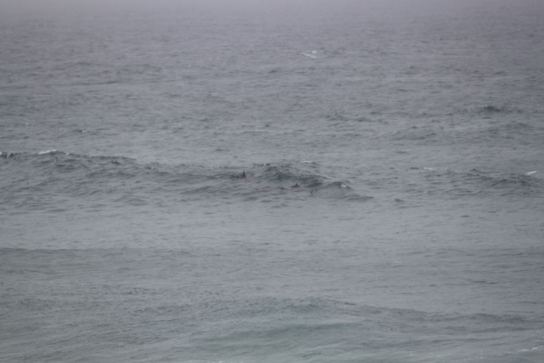Dolphins in the surf at Hastings Point