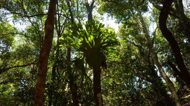 Stag Horn Fern - Iluka Nature Reserve
