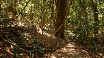 Vines that Twine - Iluka Nature Reserve