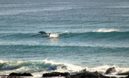 Dolphins - Pod Surfing6