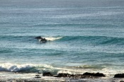 Dolphins - Pod Surfing8