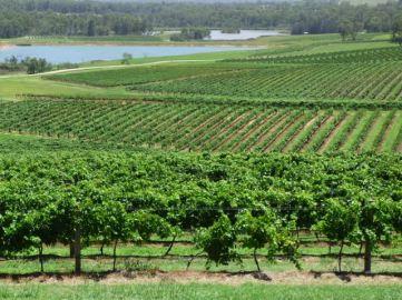 Fields of vines around Audrey Wilkinson