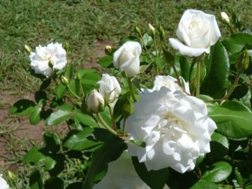 Roses grow at the end of the vines rows to attract pests and alert the growers.