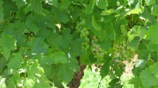 Shiraz grapes just starting to ripen - harvest is in February.