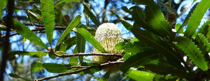 A Beautiful Banksia