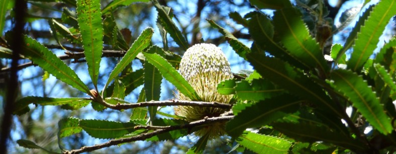 A Beautiful Banksia