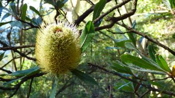 A Banksia Bloom