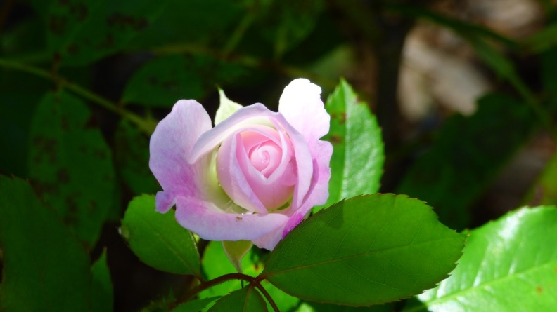 A Pink Rose I photographed while walking past someone's garden.