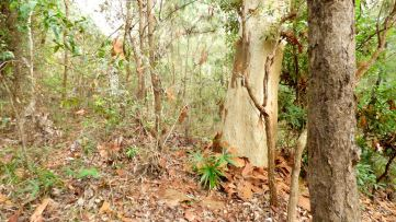 Tree devoid of bark.