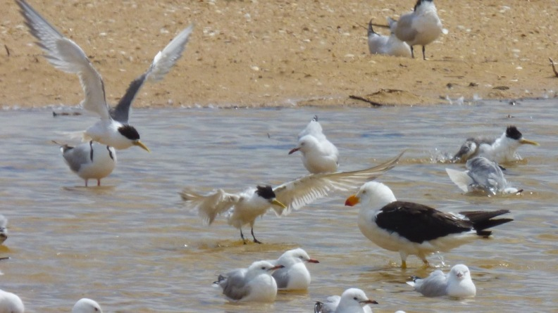 Pacific Gull and Crested Terns