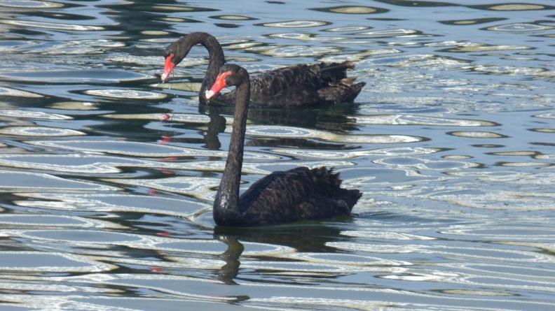 Beautiful Black Swans at Lakes Entrance