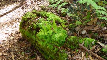 Beautiful green moss grows everywhere on every fallen tree.