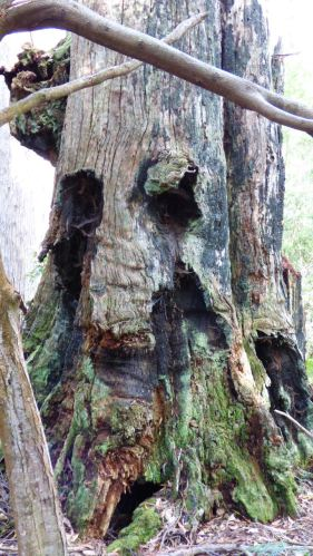 The Old Man of the Forest