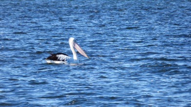 Pelican on Ansons Bay