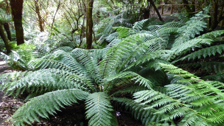 St Columba Falls - Ferns
