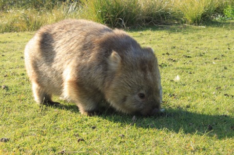 A common wombat on Tribunna Island