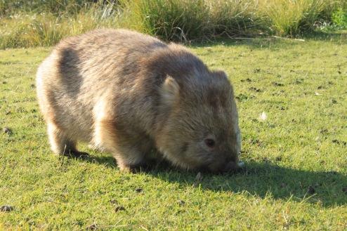 A common wombat on Tribunna Island