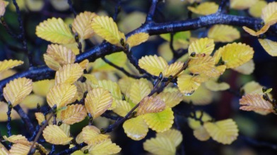 Fagus Leaves