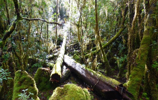 A fallen friend in the temperate rainforest of the World Heritage Area.