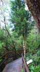 This (baby) Huon Pine is 70 years old and you could touch your fingers around it's trunk.