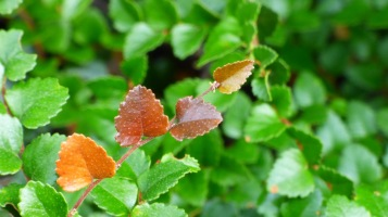 The leaves of a Beech.