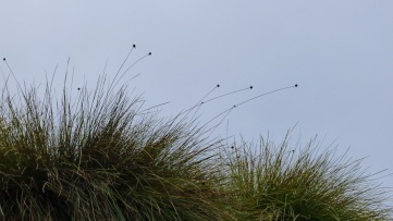 Buttongrass waving in the breeze.