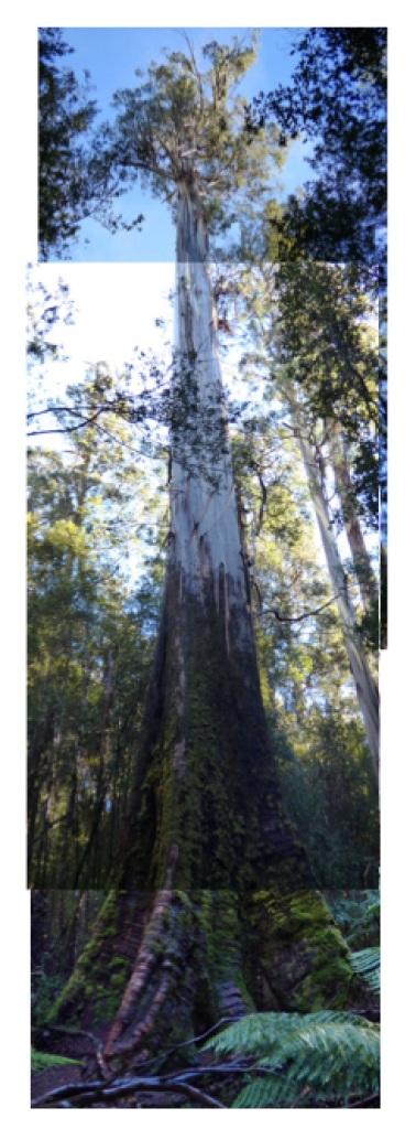 Tallest Tree at Mt Field