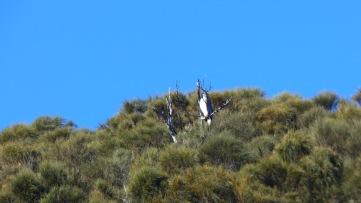 White-breasted Sea-eagle