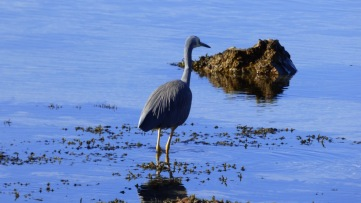 White-faced Heron - Shot 1