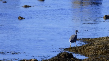 White-faced Heron - Shot 2
