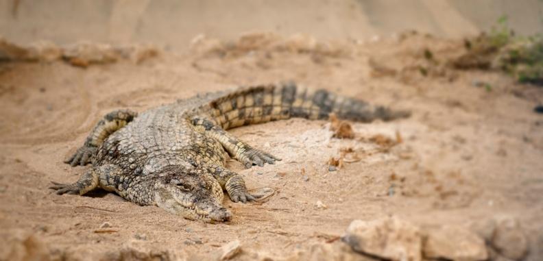 dangerous-crocodile