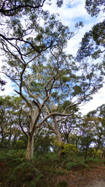 Magnificent Ghost Gum