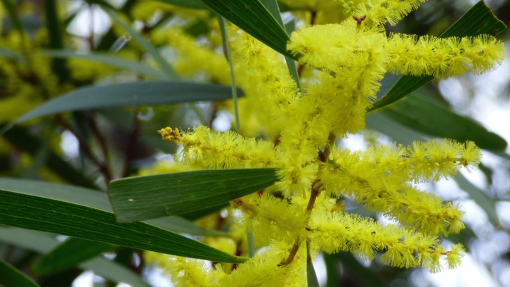 Beautiful flowers of the Acacia longifolia - Sydney Golden Wattle