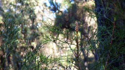 Tiny pine cone