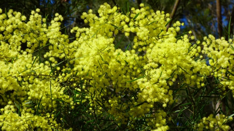 I think this is Fringed Wattle, also know as Brisbane Wattle