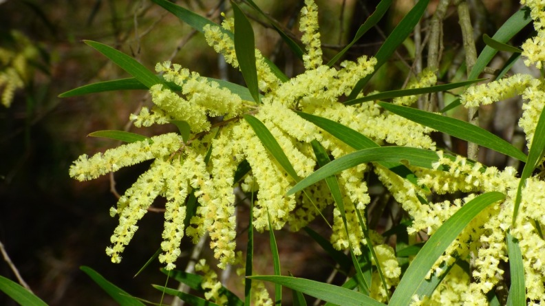 Others have 'fingers' of blooms (Coast Wattle)