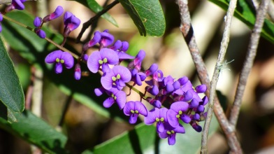 Little purple flowers at Fitzroy Falls