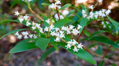 Little white flowers at Fitzroy Falls