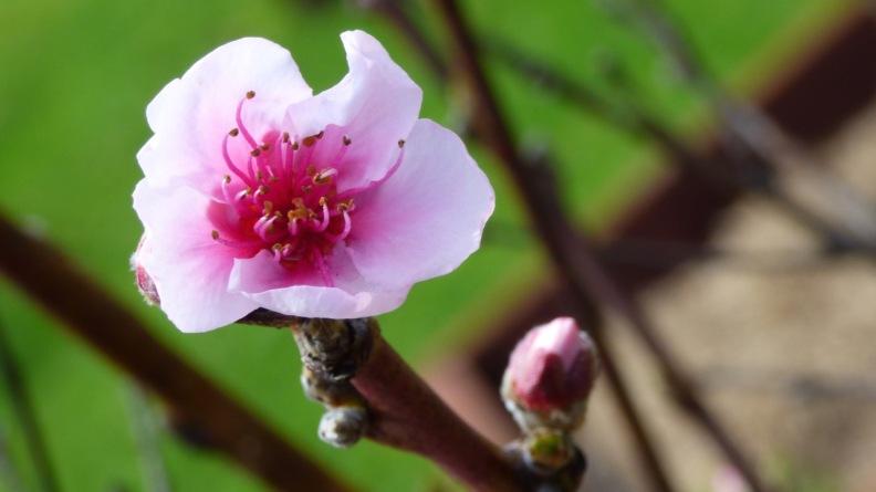 Lone Cherry Blossom