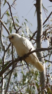 A Little Corella