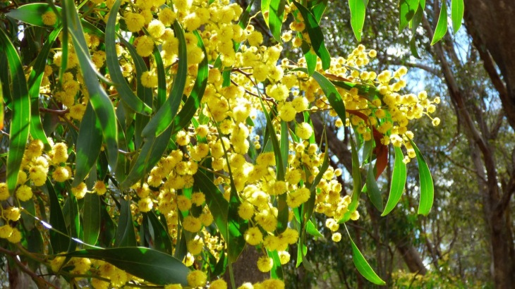 More Golden Wattle