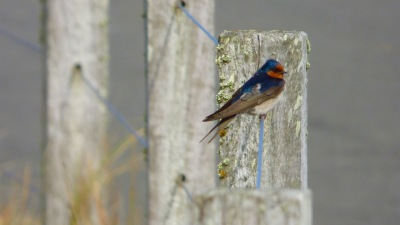A Welcome Swallow