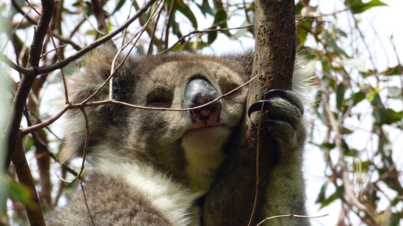 Cape Otway Koala