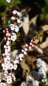 Grampians Heath Myrtle