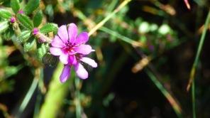 Little pink daisy like flower