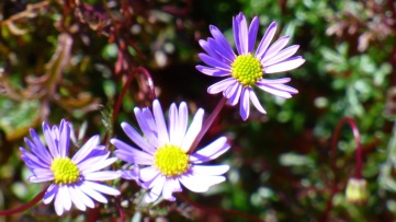 Little purple native daisies