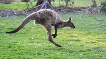I call this kangaroo Qantas.
