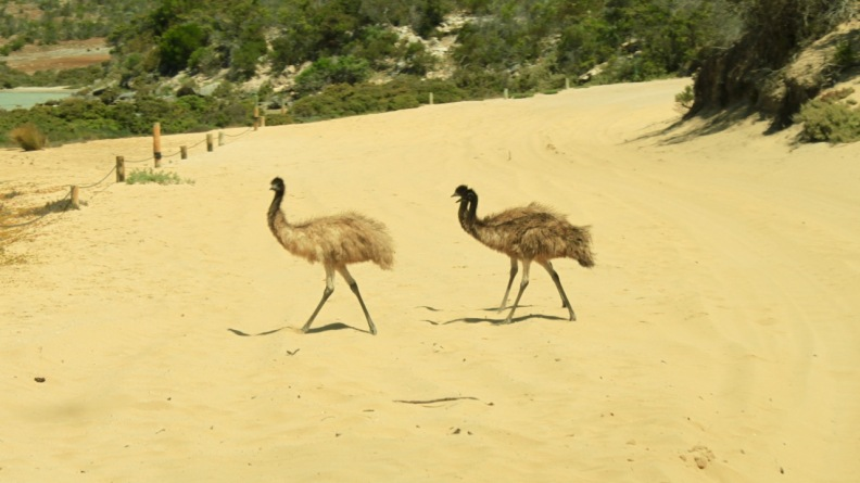 Not so little emu babies - Coffin Bay National Park
